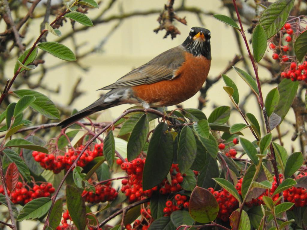 Robin Extraordinaire by seattlite