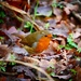 Whisby Robin by carole_sandford