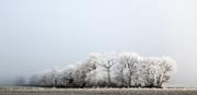 31st Dec 2016 - Project 52: Week 53 - Frosty Trees
