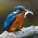 Kingfisher with Fish-best on black by padlock
