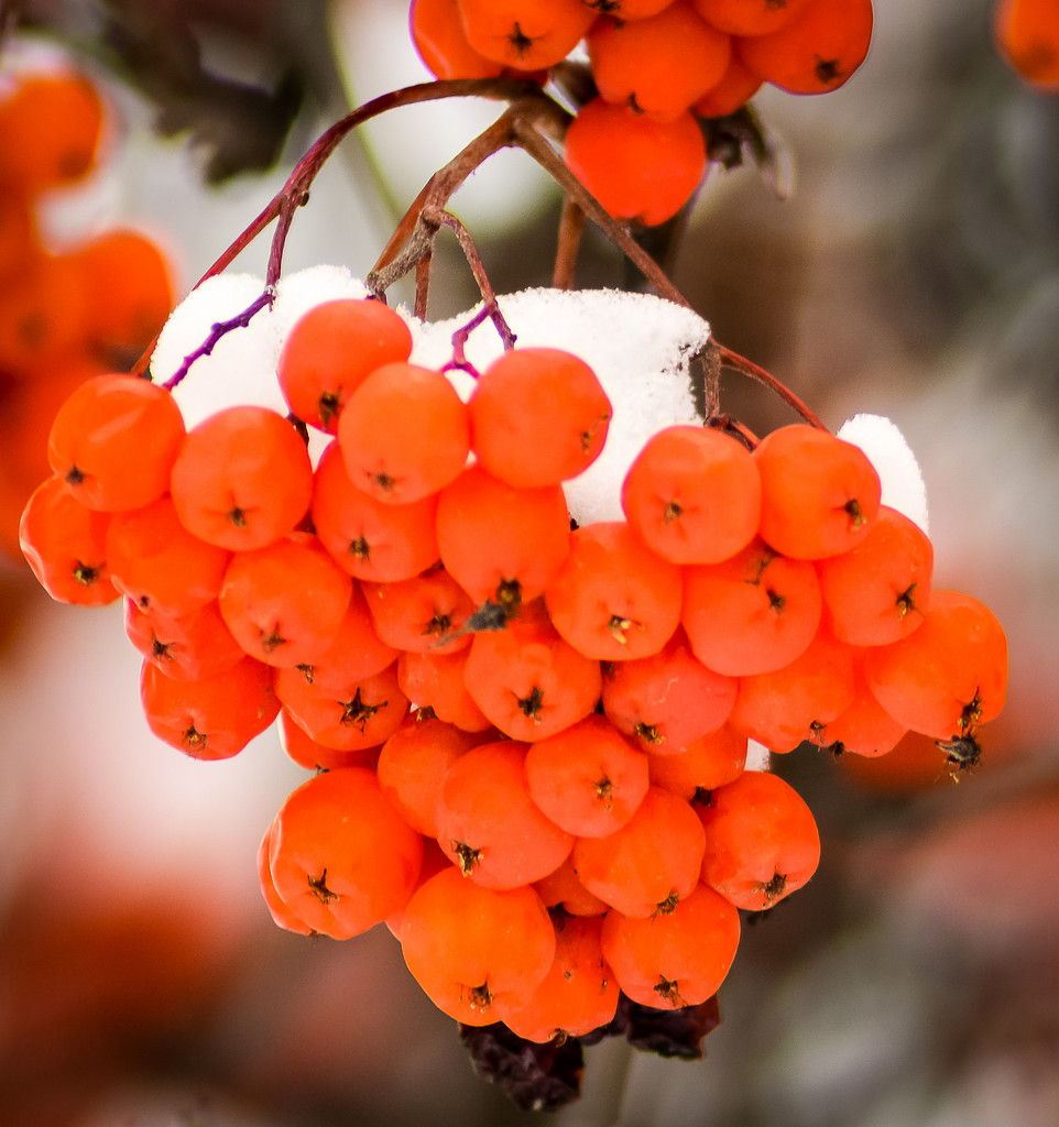 Mountain Ash berries New Year's Day by 365karly1