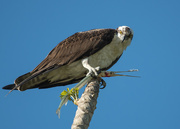 30th Dec 2016 - Osprey and his catch of the day