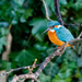 Kingfisher basking in early light by padlock