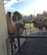 2nd Jan 2017 - Peeking Camel