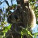 yep they can sleep anywhere by koalagardens