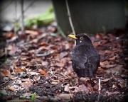 3rd Jan 2017 - The recognisable blackbird