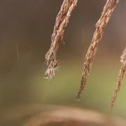 3rd Jan 2017 - Raindrops on grass tassels