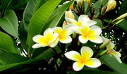 4th Jan 2017 - Beautiful Frangipani flowers to cheer those up where the weather is dark & overcast