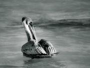 3rd Jan 2017 - pelican brief
