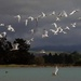A cloud of white fronted terns heading out to sea by maureenpp