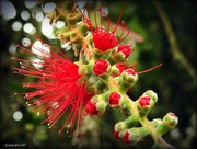 4th Jan 2017 - bottlebrush flower