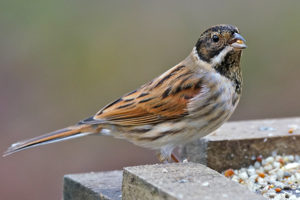 REED BUNTING by markp