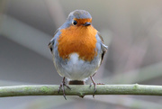 4th Jan 2017 - 2017 01 04 - Robin