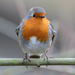 2017 01 04 - Robin by pixiemac