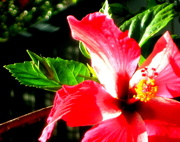 5th Jan 2017 - Red Hibiscus