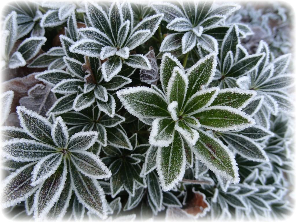 frosty plant by gijsje