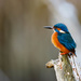 Male Kingfisher-just waiting by padlock