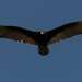 Vulture in Flight! by rickster549