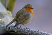 6th Jan 2017 - TODAY'S ROBIN