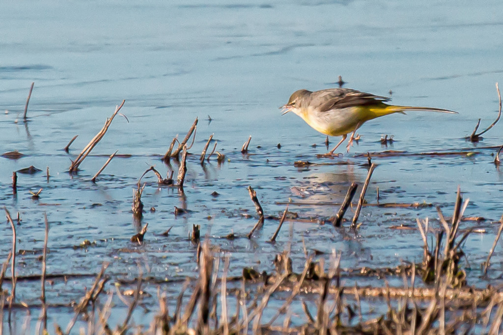 2017 01 06 - Grey Wagtail by pamknowler