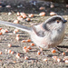 2017 01 06 - Long Tailed Tit