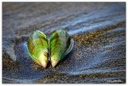 7th Jan 2017 - Green Lipped Mussel....