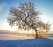 7th Jan 2017 - Lone Tree with Sunrise