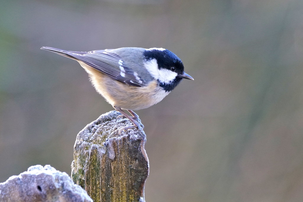 COAL TIT WITH TAIL LIGHT by markp