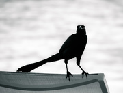 8th Jan 2017 - day of the grackle