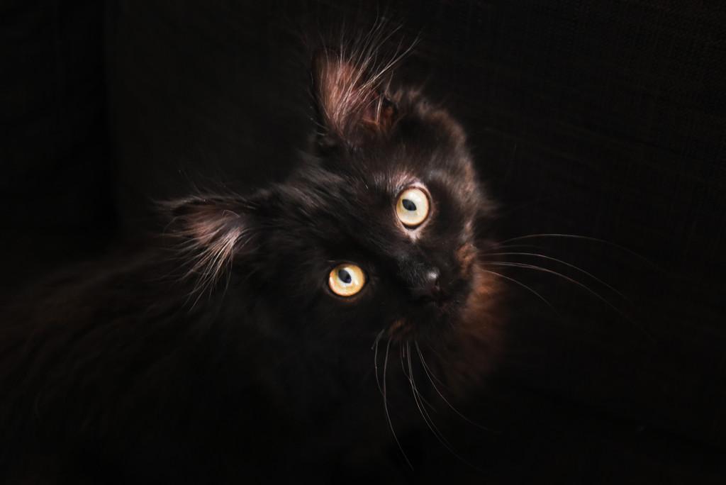 Chocolate Cat  by vera365