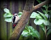 9th Jan 2017 - Woodie Woodpecker
