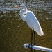Egret in the Middle of the Lake!