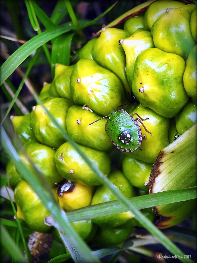 Stink Bug by yorkshirekiwi