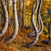 The Art of Aspens in the West