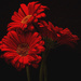 Red by joysfocus