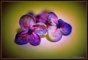 10th Jan 2017 - Hydrangea florets..
