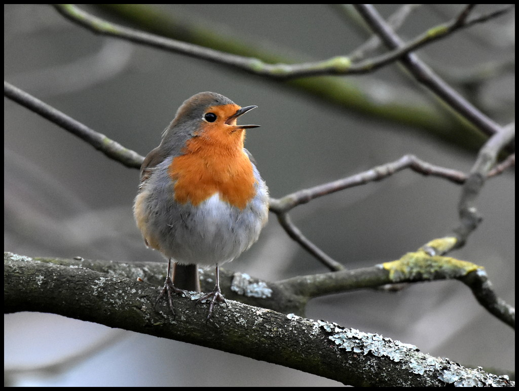 A singing robin a day keeps the miseries away by rosiekind
