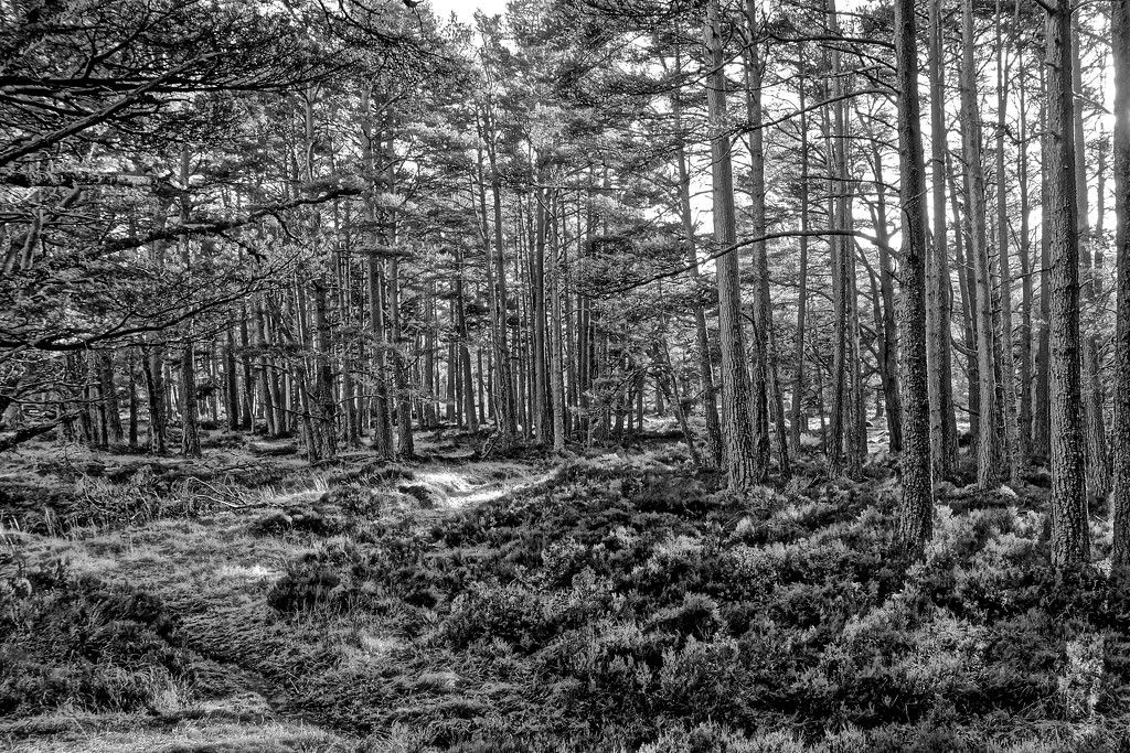 GLENMORE FOREST by markp