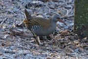 11th Jan 2017 - ANOTHER WATER RAIL