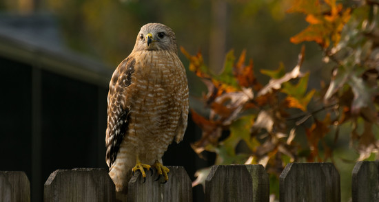 My Red Shouldered Hawk Came Back! by rickster549