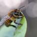 Bokah Bee by shylaine3304