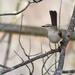 Northern Mockingbird by dsp2
