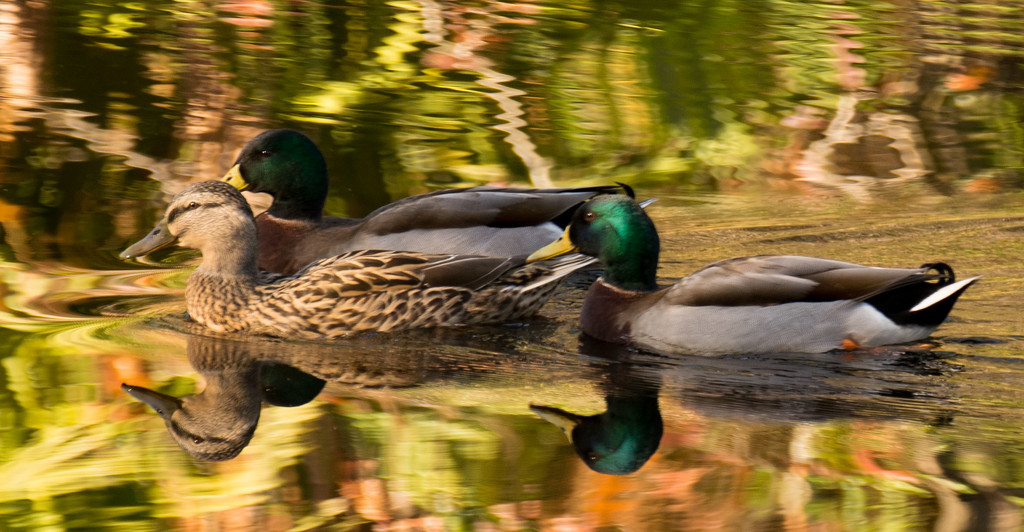 Ducks and Reflections! by rickster549