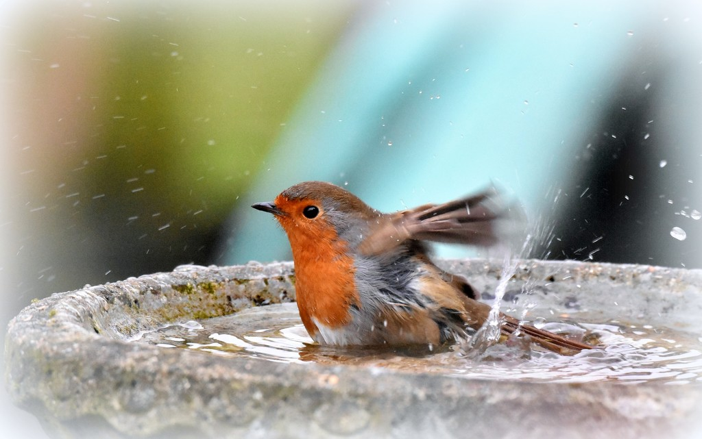 Bathing robin by rosiekind