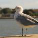 Seagull Posing for Chips!