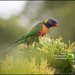 Rainbow lorikeet by kerenmcsweeney