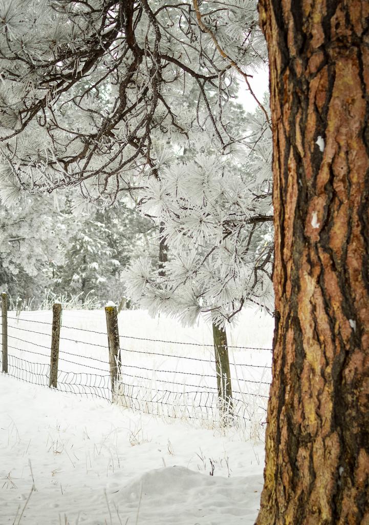 Ponderosa Pine  by 365karly1