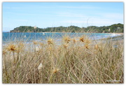 15th Jan 2017 - Spinifex and bunny Tails at Woolleys Bay....
