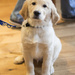Lovely Guide Dog puppy 'Coffee'