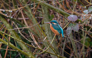 16th Jan 2017 - 2017 01 16 - Kingfisher